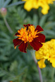 African marigold Stock Photography