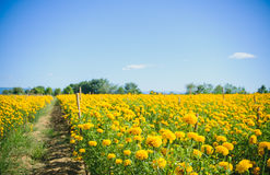 African marigold flower in farm. Stock Images
