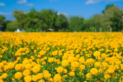 African marigold flower in farm. Stock Photography