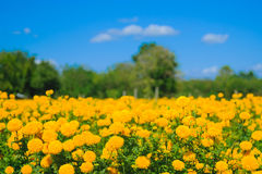 African marigold flower in farm. Royalty Free Stock Images
