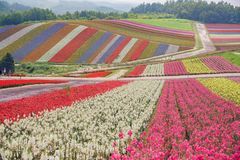 African Marigold, Salvia splendens blossom in rainbow lines in the famous and beautiful Panoramic Flower Gardens Shikisai-no-oka. At Hokkaido, Japan royalty free stock photo