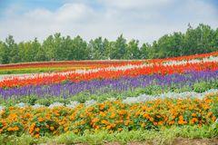African Marigold, Salvia splendens blossom in rainbow lines in the famous and beautiful Panoramic Flower Gardens Shikisai-no-oka. At Hokkaido, Japan royalty free stock image
