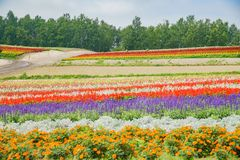 African Marigold, Salvia splendens blossom in rainbow lines in the famous and beautiful Panoramic Flower Gardens Shikisai-no-oka. At Hokkaido, Japan stock photos