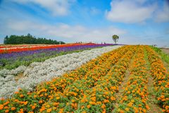 African Marigold, Salvia splendens blossom in rainbow lines in the famous and beautiful Panoramic Flower Gardens Shikisai-no-oka. At Hokkaido, Japan royalty free stock photos