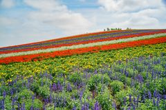 African Marigold, Salvia splendens blossom in rainbow lines in the famous and beautiful Panoramic Flower Gardens Shikisai-no-oka. At Hokkaido, Japan stock photography