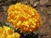 African marigold  Tagetes erecta Royalty Free Stock Images