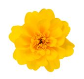 African Marigold Stock Photos
