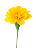 African Marigold Stock Images
