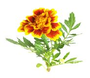 African Marigold Royalty Free Stock Images