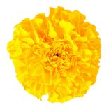 African Marigold Royalty Free Stock Photo