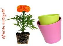 African Marigold (Tagetes Erecta) Royalty Free Stock Images