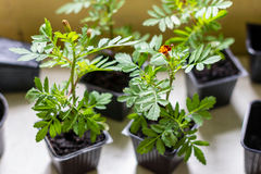 African marigold tagetes seedlings in the small black pots with black soil Stock Image
