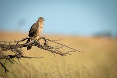 Free African Marsh Harrier Perched On Dead Branch Royalty Free Stock Photos - 153087138