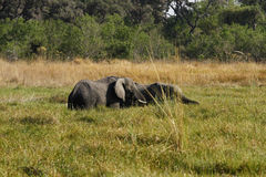 African Marshland Elephants. Grazing the marshland reeds in the heat of the day royalty free stock photography