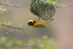 African masked weaver Stock Photography
