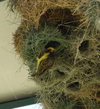 African masked weaver in his nest Royalty Free Stock Photos
