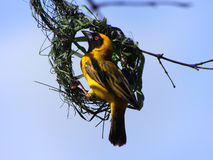 African masked weaver Royalty Free Stock Photo