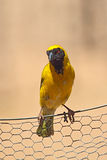 African masked weaver (Ploceus velatus). Sitting on a fence in South Africa Stock Photography