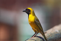 African masked weaver (Ploceus velatus). Sitting on a fence in South Africa Stock Photo