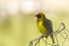 African masked weaver (Ploceus velatus). Sitting on a fence in South Africa Stock Image