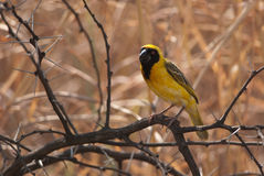 African masked weaver Stock Photos