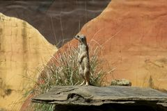 African Meerkat Royalty Free Stock Photo
