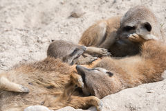 African meerkats looking at you Stock Photography