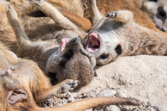 African meerkats looking at you Royalty Free Stock Photo