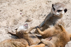 African meerkats portrait while fighting Stock Photography