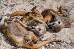 African meerkats portrait while fighting Royalty Free Stock Photo