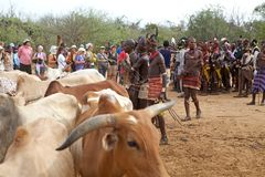 African men and cattle Royalty Free Stock Photography