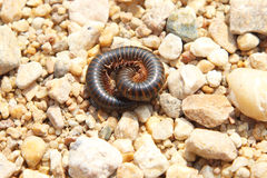 African millipede among the pebbles Royalty Free Stock Photo