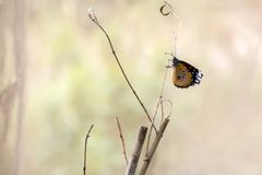 African Monarch Butterfly close-up. With blurred background royalty free stock images