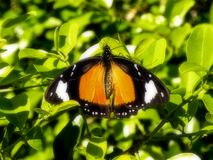 African Monarch butterfly. A close-up view of an African Monarch butterfly in a tree stock image