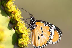 A African monarch butterfly enjoys a drink of sweet nectar Royalty Free Stock Photo