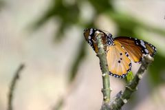 African Monarch Butterfly on green branches close-up. On blurred background royalty free stock images
