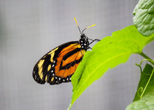 African Monarch butterfly on a leaf-Stock Photos Royalty Free Stock Photo