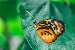 An African Monarch butterfly perched on green leaf. With a smooth green background stock photography