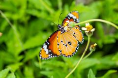 An African Monarch butterfly uses its probostic to collect the nectar. An African Monarch butterfly or Plain Tiger butterfly uses its probostic to collect the royalty free stock images