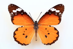 African monarch or plain tiger. (Anosia chrysippus) specimen isolated stock photos