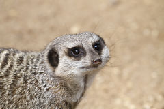 African mongoose close-up Royalty Free Stock Photo