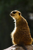 African mongoose closeup Stock Photo
