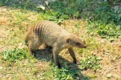 African Mongoose in Etosha Stock Photo