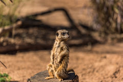 African mongoose, suricate or meerkat standing Royalty Free Stock Images
