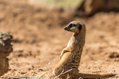 African mongoose, suricate or meerkat standing on alert Stock Photos
