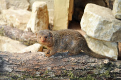 African Mongoose on wood Stock Photo