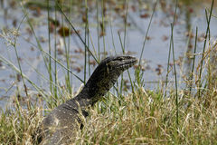 African Monitor Lizard Royalty Free Stock Image