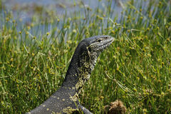 African Monitor Lizard. Monitor lizards possess a relatively high metabolic rate Royalty Free Stock Photos