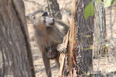African Monkey and her baby royalty free stock photo