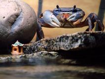 African Moon Crab on Ledge. My pet crab on a ledge with the water below him Stock Image